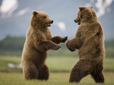 Grizzly Bears Sparring at Hallo Bay in Katmai National Park Photographic Print by Paul Souders