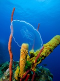 Moon Jellyfish near Coral Reef Photographie
