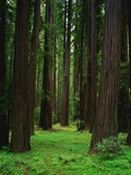 Redwood Forest Photographic Print by Kathleen Brown