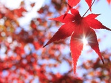 Sun Shining Through Maple Leaf Photographic Print by Naoki Mutai