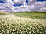 Daisies Covering a Field Under Cloudy Skies Photographic Print by Craig Tuttle