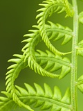 Cinnamon Fern (Osmunda Cinnamomea) Detail of Emerging Fronds, Lively, Ontario, Canada. Valokuvavedos tekijn Don Johnston