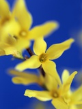 Forsythia flowers Photographic Print by Frank Krahmer