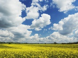 Idyllic rape field Photographic Print by Frank Krahmer