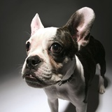 Close-up of a French bulldog Photographic Print by Donald Bowers