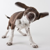German shorthaired pointer shaking ears Photographic Print by Michael Kloth
