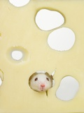 White mouse eating Swiss cheese Photographic Print