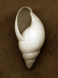 White Cornball Shell Photographic Print by John Kuss