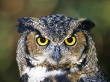 Great Horned Owl (Bubo Virginianus) Portrait, Canada Photographic Print by Ethan Meleg