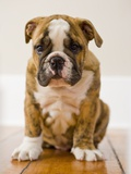 Bulldog puppy Photographic Print by Jim Craigmyle