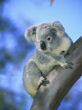 Juvenile Koala (Phascolarctos Cinereus). Brisbane, Australia Photographic Print by Wayne Lynch
