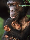 Chimpanzee Mother Nurturing Baby Photographic Print