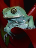 Monkey Tree Frog Photographic Print by David Northcott