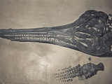 Head of a Jurassic Icthyosaur Fossil Photographic Print by Kevin Schafer