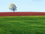 Lone Tree in Spring Field Near Sussex, New Brunswick, Canada. Photographic Print by  Barrett & Mackay
