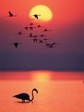 Greater Flamingos at Sunset Fotografisk tryk