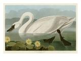 Cygne américain commun Reproduction procédé giclée par John James Audubon