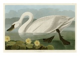 Common American Swan Lmina gicle por John James Audubon