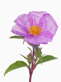 Purple Rock rose Photographic Print by Frank Krahmer