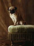 Alen MacWeeney - Pug Sitting on Stool Fotografická reprodukce