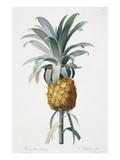 Bromelia ananas Giclee Print by Pierre-Joseph Redouté