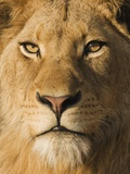 Close up of male lion Photographie