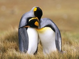 Mating King Penguins (Aptenodytes Patagonicus) Volunteer Point, Falkland Islands, Southern Atlantic Photographic Print by Wayne Lynch