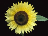 'Vanilla Ice' Sunflower Photographic Print by Clay Perry