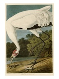 Hooping Crane Premium Giclee Print by John James Audubon