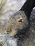 Artic Hare (lepus Articus) in Summer, Churchill Manitoba, Canada Photographic Print by Don Johnston