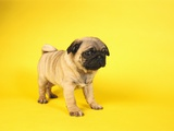 Peter M. Fisher - Pug Puppy Fotografická reprodukce