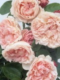 St. Swithan Roses Photographic Print by Clay Perry