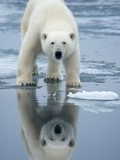 Polar Bear on melting ice, Svalbard, Norway Photographic Print by Paul Souders