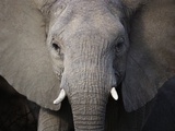 Close up of Elephant Photographic Print