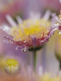 Dew Collecting on Flower Petals Photographic Print by Craig Tuttle