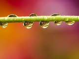 Raindrops on Graden Flower Stem, Canada Photographic Print by Don Johnston