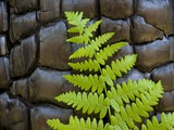 Fern in the front of burned log at Yosemite National Park Photographic Print by Gavriel Jecan