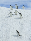 Chinpstrap penguins walking down a snowbank Photographic Print by Ralph Lee Hopkins