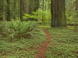 Trail among redwood trees in Jedediah Smith Redwoods State Park Photographic Print by John Eastcott & Yva Momatiuk