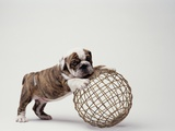 Bulldog Puppy Playing with Metal Sphere Photographic Print by Larry Williams