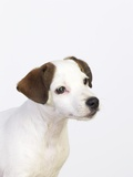 Curious Jack Russell Terrier Puppy Photographic Print by Lew Robertson
