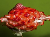 Weird Strawberry Photographic Print by Alan Sailer