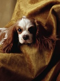 Cavalier King Charles Spaniel Photographic Print by Alen MacWeeney