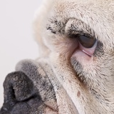 Bulldog face Photographic Print by Michael Kloth