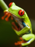 Red-eyed tree frog on stem Photographic Print by Paul Souders