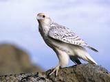 Juvenile Gyrfalcon (Falco Rusticolus), Ellesmere Island, Nunavaut, Arctic Canada Photographic Print by Wayne Lynch