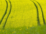 Germany Baden Wurttemberg Rape seed flower on field Photographic Print by Silke Magino