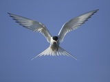 Arctic Tern in Flight Photographic Print by Tim Davis