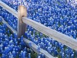 Bluebonnets Along Fenceline Fotografie-Druck von Terry Eggers