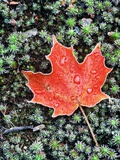 Frost on Autumn Sugar Maple Leaf and Haircap Moss, Muskoka, Ontario, Canada. Photographie par Andrew McLachlan